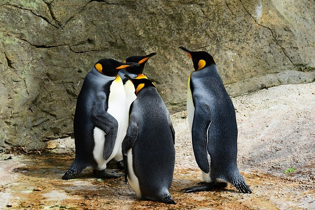 Multiple penguins having a meeting in a zoo